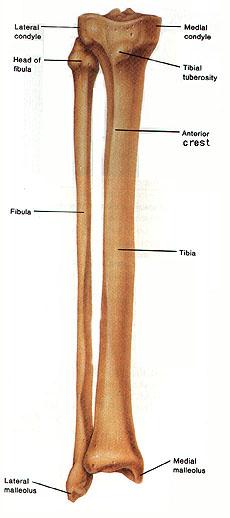 Day 187Fibular Notch Of Tibia