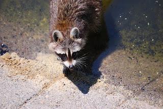 contrapicado de mapache sobre fondo de cemento