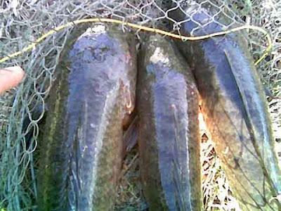 การเลี้ยงปลาช่อน