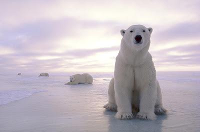 หมีขั้วโลก (Polar Bear)