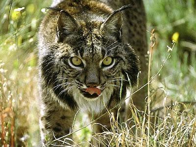 แมวลิงซ์ไอบิเลีย (Iberian Lynx, Lynx pardinus)