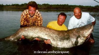 ปลา เวลส์ แคทฟิช Wels Catfish