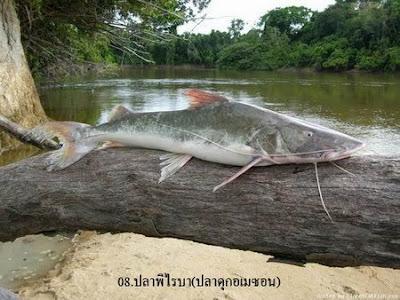 ปลา พิไรบ้า