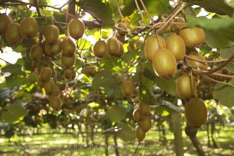 SIBIRSKI KIVI - ACTINIDIA ARGUTA Kiwi+vines