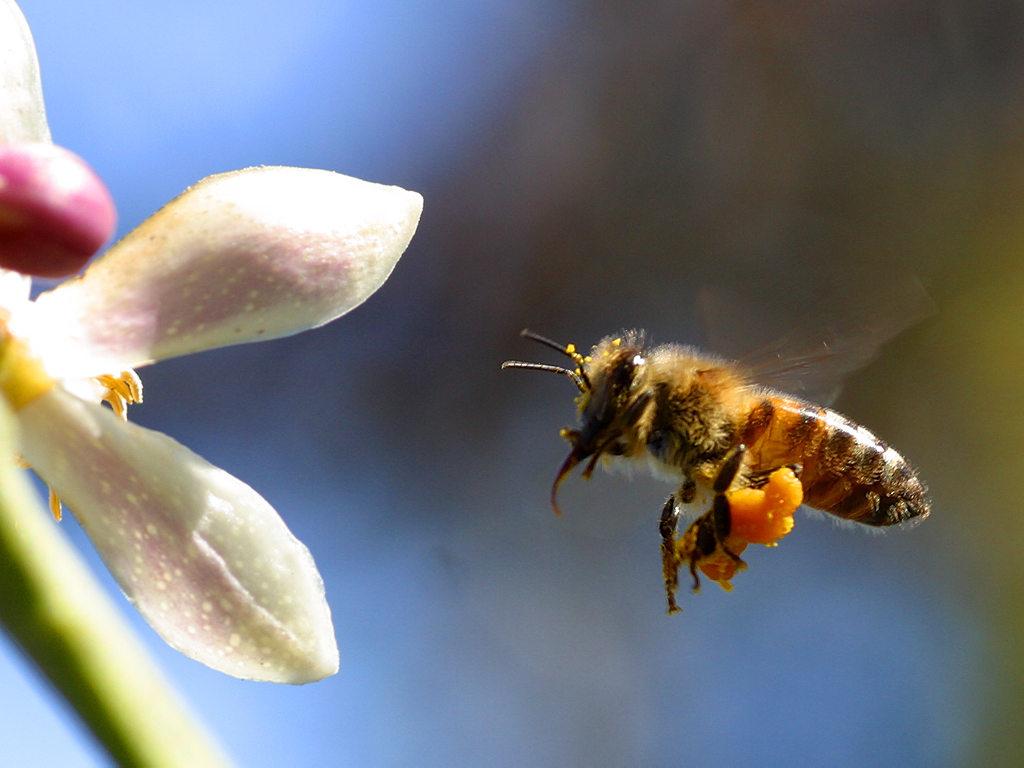 Melihat Perjuangan Lebah Mendapatkan Madu