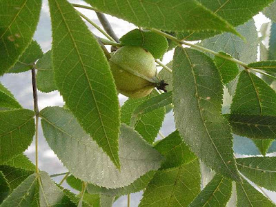 Nut Tree Identification http://covertress.blogspot.com/2009/09/hickory-nuts-inside-story.html
