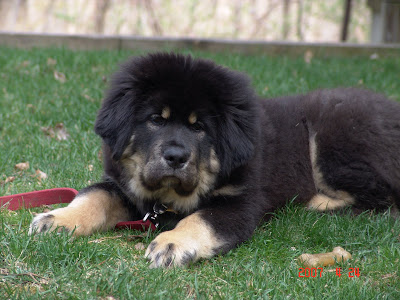 Tibetan Mastiff Training