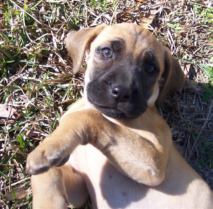 Blackmouth Cur:Pictures Of Dogs And All About Dog