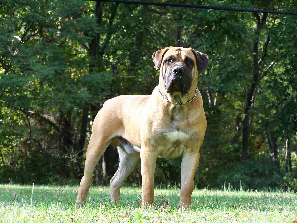 Boel Dog Breed
