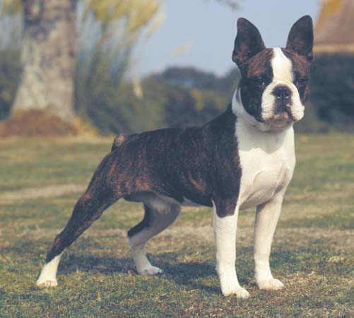 Boston Terrier:Pictures of Dogs and All About Dog