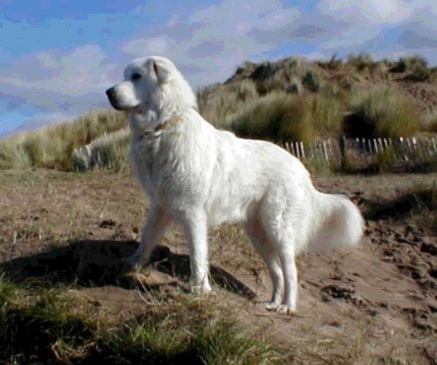 Maremma Sheepdog:Pictures of Dogs and All About Dog