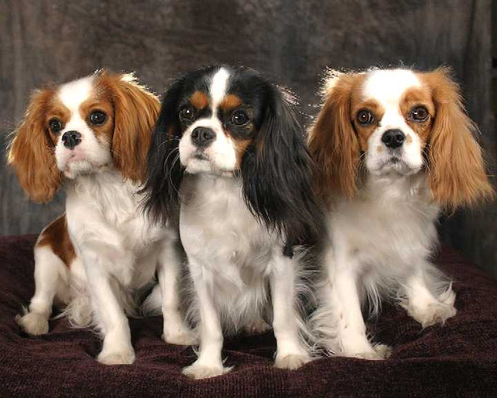 English Toy Spaniel Dogs