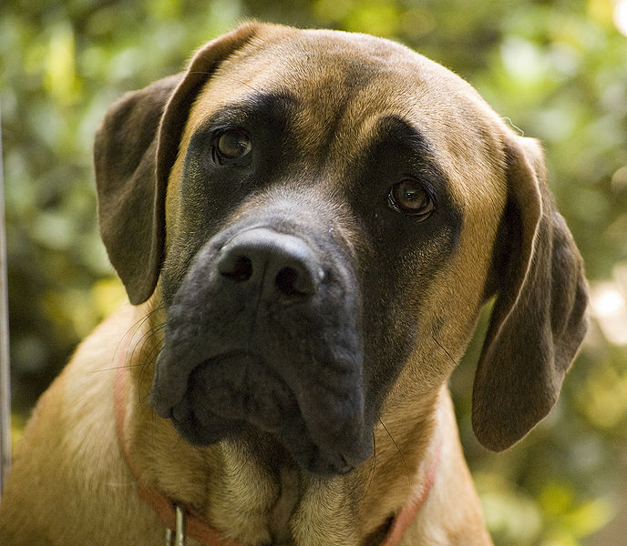 English Mastiff Brown
