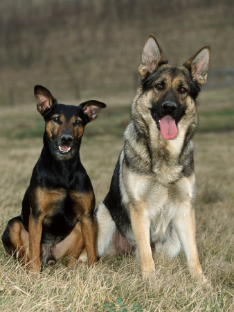 Mixed Breed Dogs Versus Purebred Dogs