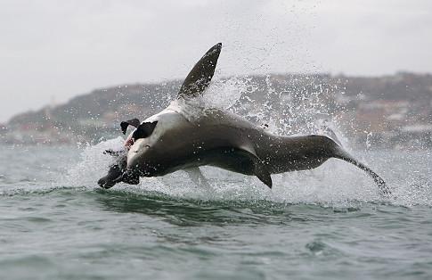 NORCAL YAK Sharks Kayaks And Must Sea TV