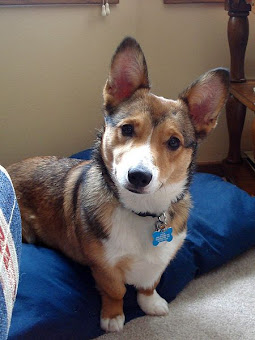 Pembroke Corgi