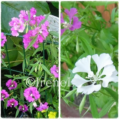 clarkia men Clarkia is a genus within the flowering plant family onagraceae over 40 species are currently classified in clarkia almost all are native to western north america.