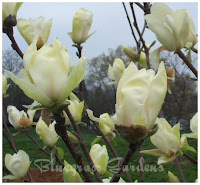 Yellow Fever Magnolia