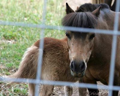 buckskin mini horse, mini foal