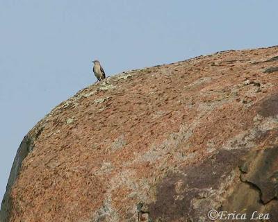 mockingbird, bird