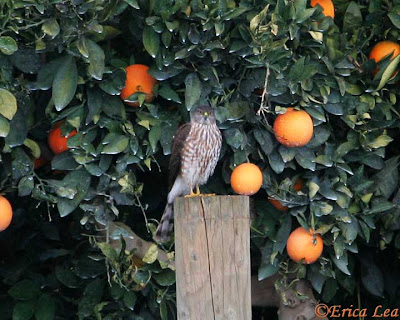 cooper's hawk, bird, oranges, central california
