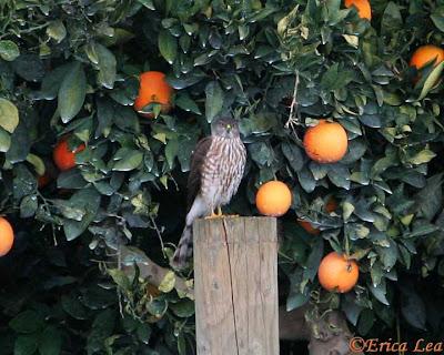 cooper's hawk, bird, oranges, central california