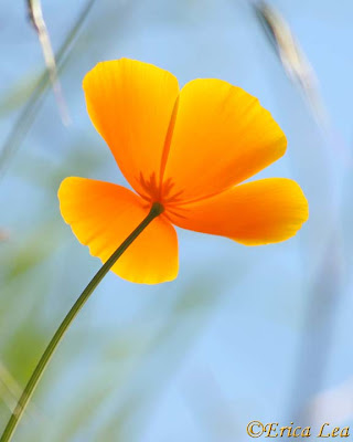 california poppy, orange wildflower