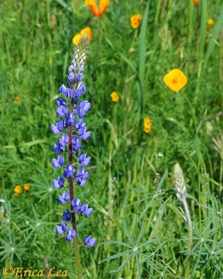 lupine, wildflower, blue