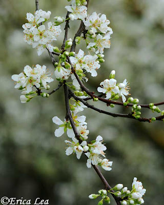 fruit tree blossoms, white flowers, branches