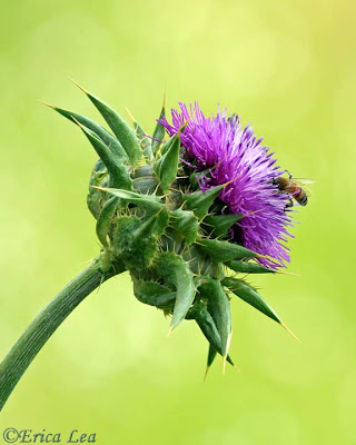 honey bee, milk thistle