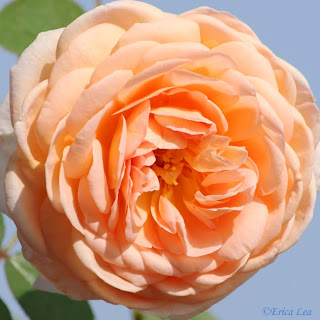 tamora rose