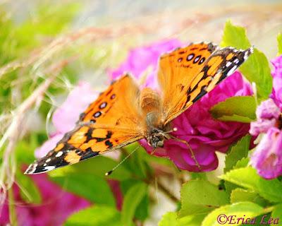 west coast lady butterfly