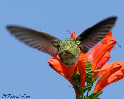 anna's hummingbird, cape honeysuckle