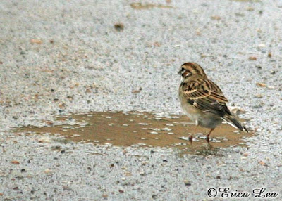 lark sparrow, rain, bath