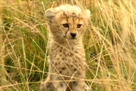 Treats Not Tricks For Baby CheetahsReally Cute Baby Cheetahs