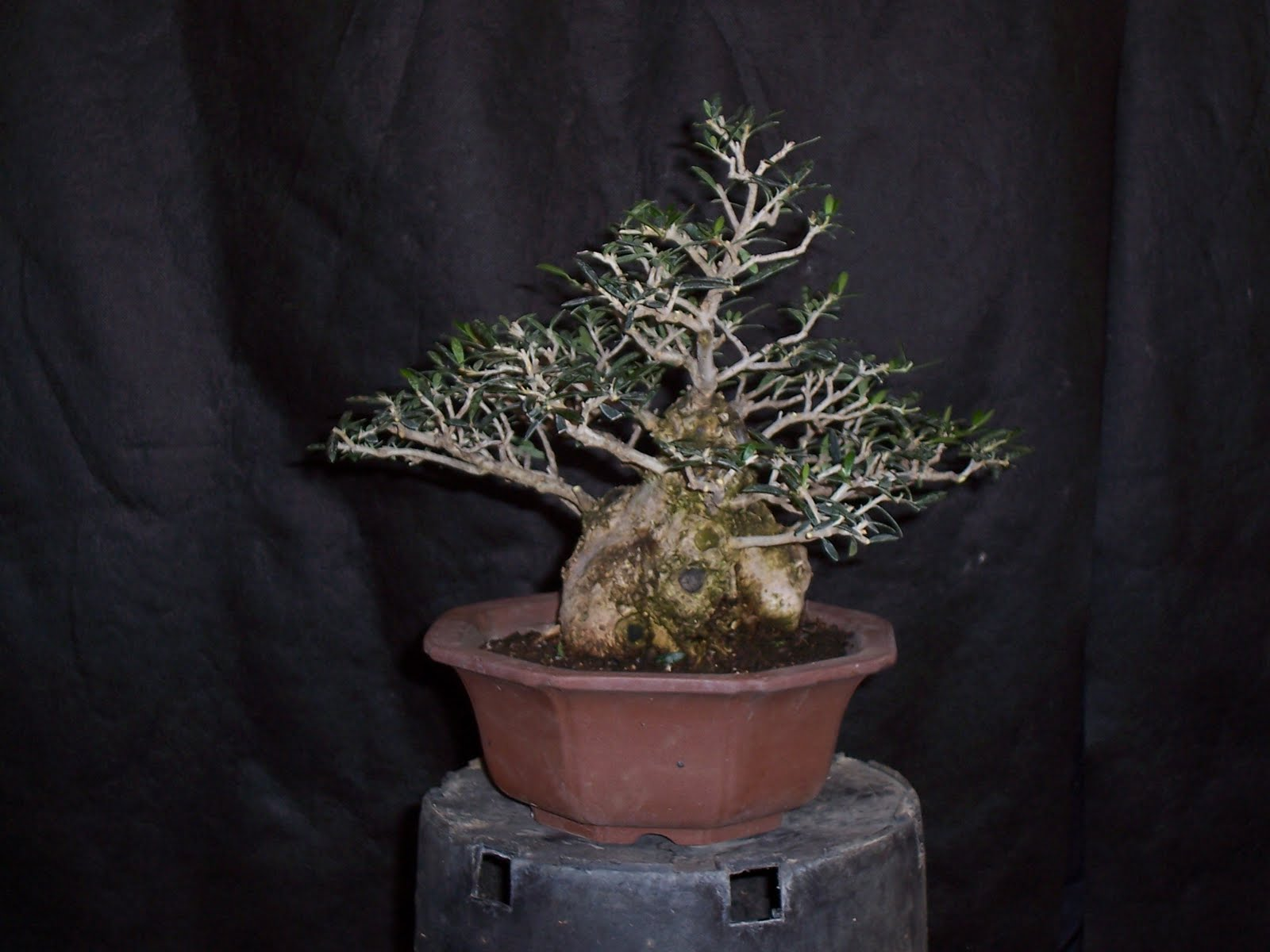 Bonsaibp39s Bonsai Blog Small Leaf Olives