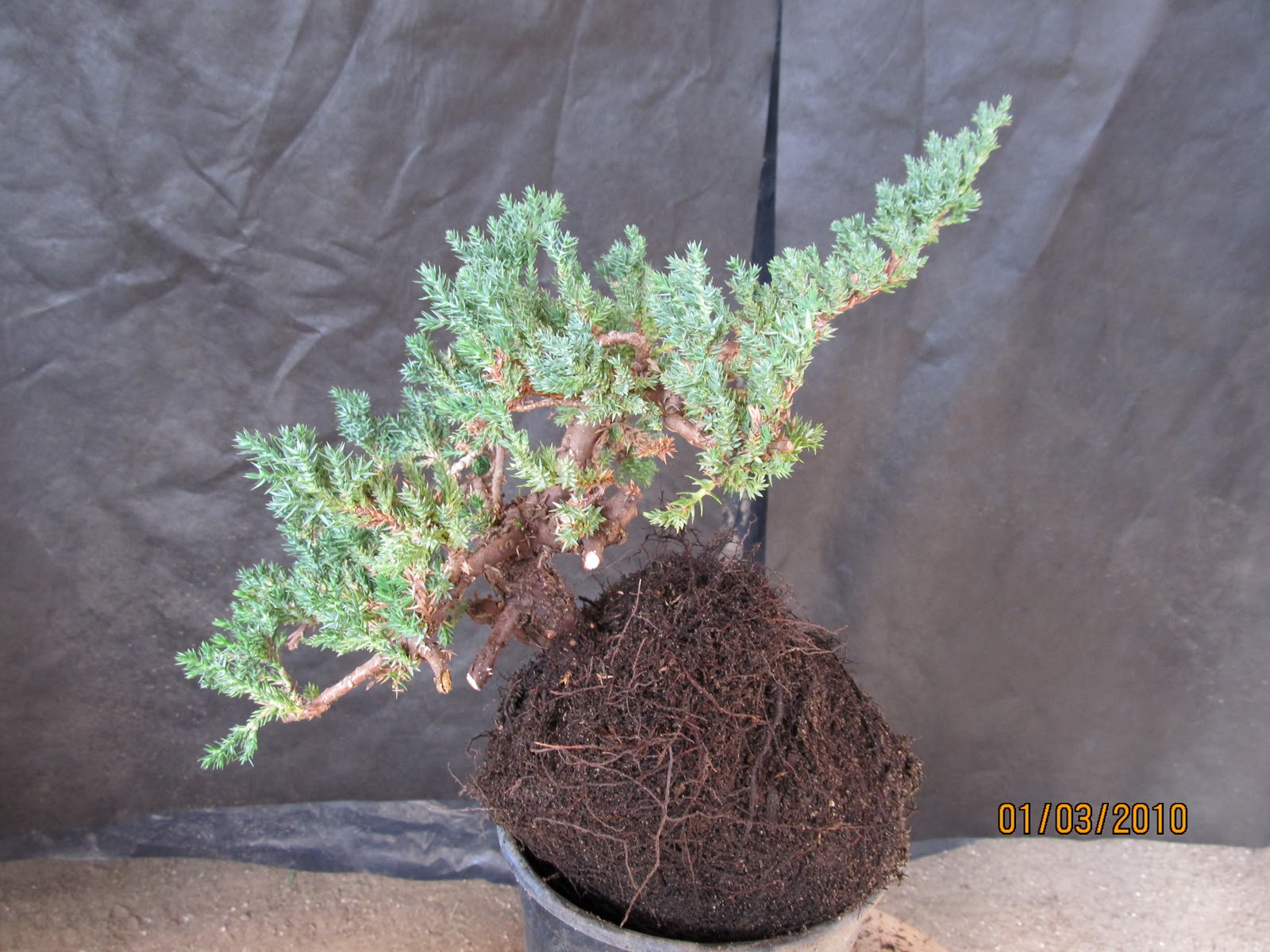 Bonsaibp39s Bonsai Blog Starting Your Bonsai With Nursery Plants
