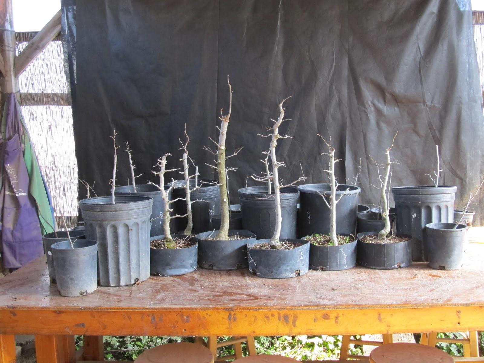 Bonsaibp39s Bonsai Blog Creating A Forest Planting Part 1