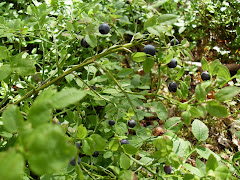 BLUEBERRIES IN OUR FOREST