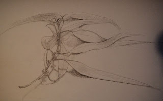 pencil drawing of eucalyptus leaves