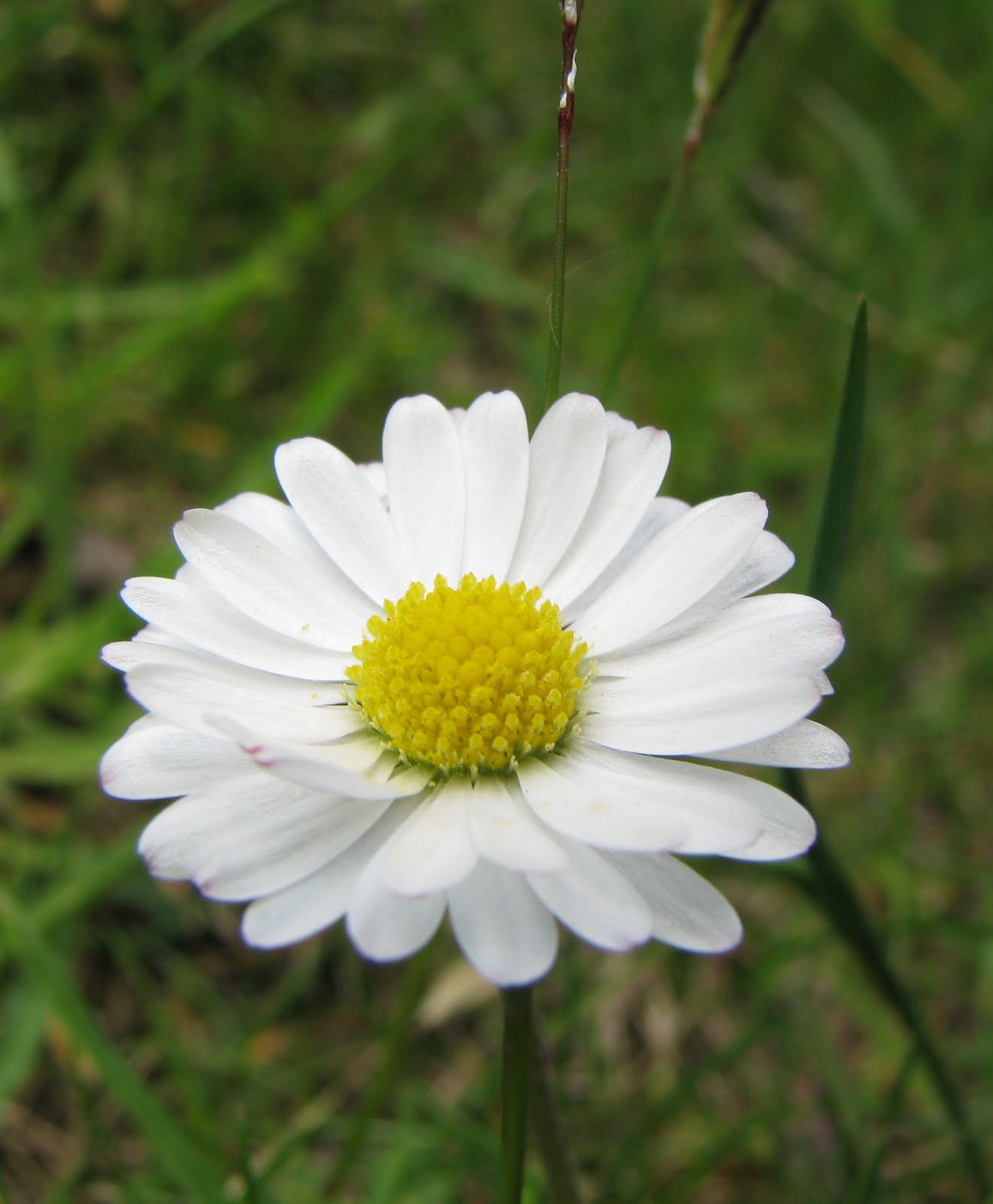 Wiggers world common daisy the daisy flower is considered a friendly one it has white petals with yellow centers sometimes the flowers are a rose or pink color izmirmasajfo