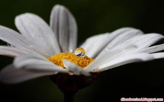 daisy and water drops