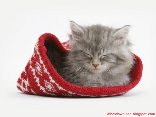 fur cap in the kitten