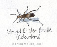 three striped blister beetle