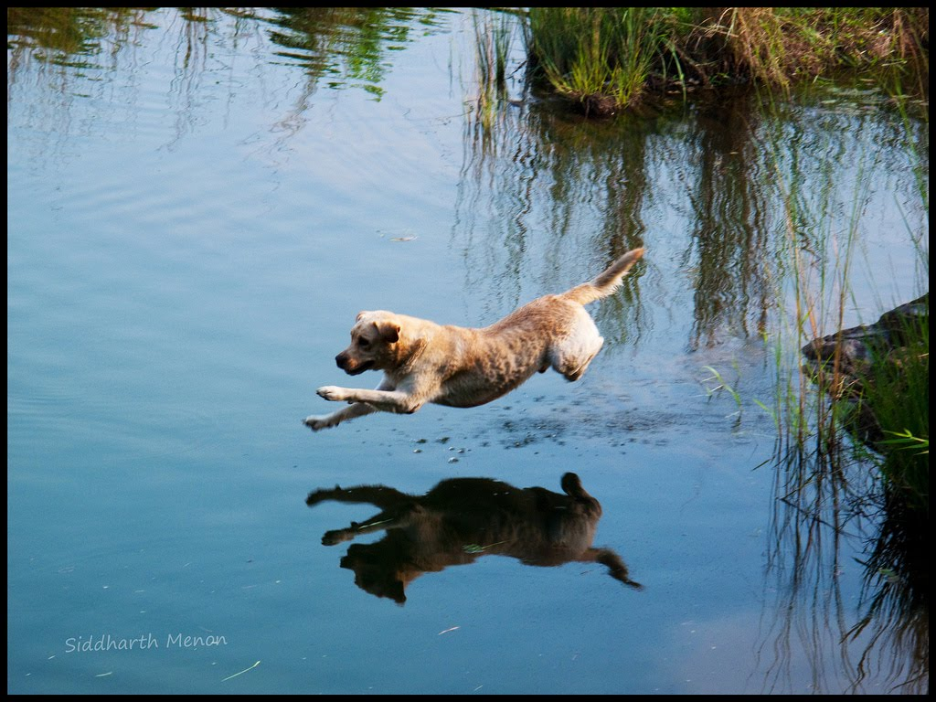 dog running on water