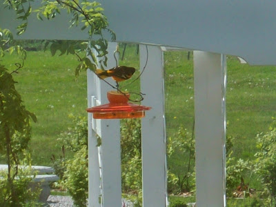 baltimore oriole icterus galbula attract this songbird to your