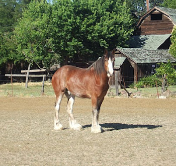 Sonoma clydesdale