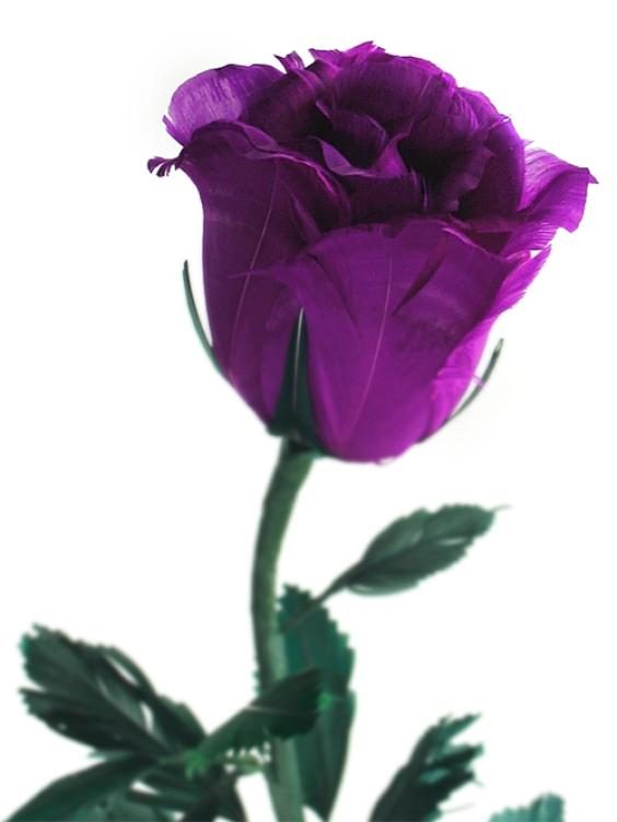 roses. wallpaper purple