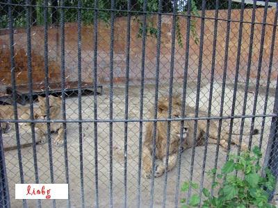 Лъвове, Варна