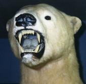 Ausgestopfter Eisbär mit gefletschten Zähnen